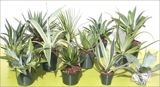 ... Drought Tolerant, Home And Patio Plants Available And They Seem To Grow  Best When Neglected. They Add A Wonderful Accent To Any Desert Garden Or  Patio.